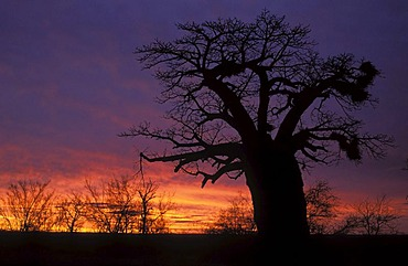 Baobab (Adansonia digitata), at dusk, Kruger National Park, South Africa, Africa