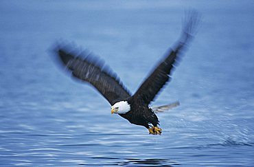 Bald Eagle (Haliaeetus leucocephalus), adult in flight with fish prey, Homer, Alaska, USA
