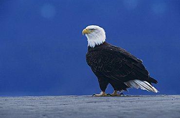 Bald Eagle (Haliaeetus leucocephalus), adult on beach, Homer, Alaska, USA