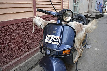 Goat on a scooter, Dungarpur, Rajasthan, India, Asia