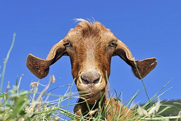 Portrait, Goat, Salina, Aeolian Islands, Sicily, southern Italy, Italy, Europe