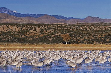 Sandhill Crane (Grus canadensis), large group at roosting place, Bosque del Apache National Wildlife Refuge, New Mexico, USA