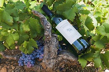Wine bottle lying on a vine on the Peljesac Peninsula, Dalmatia, Croatia, Europe