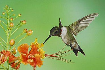 Ruby-throated Hummingbird (Archilochus colubris), male in flight feeding on Red Bird Of Paradise flower (Caesalpinia pulcherrima), Willacy County, Rio Grande Valley, South Texas, USA