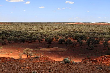 Outback landscape of Mulga Trees (Acacia aneura) in the Goldfields, Sandstone, Gascoyne, Murchison, Western Australia