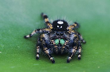Daring Jumping Spider (Phidippus audax), adult on pad of Texas Prickly Pear Cactus (Opuntia lindheimeri), Willacy County, Rio Grande Valley, South Texas, USA