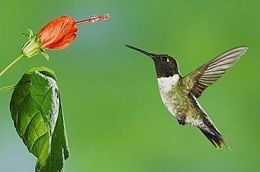 Ruby-throated Hummingbird (Archilochus colubris), male in flight feeding on Turk's Cap (Malvaviscus drummondii), Willacy County, Rio Grande Valley, South Texas, USA