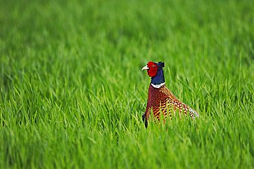 Ring-necked Pheasant (Phasianus colchicus), male, National Park Lake Neusiedl, Burgenland, Austria, Europe
