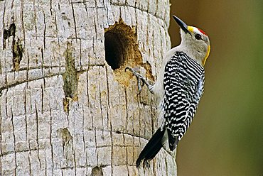 Golden-fronted Woodpecker (Melanerpes aurifrons), male at nesting cavity in palm tree, Brownsville, Rio Grande Valley, South Texas, USA