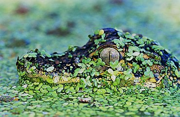 American Alligator (Alligator mississippiensis), young camouflaged in duckweed, Corpus Christi, Coastal Bend, Texas, USA