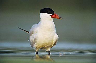Caspian Tern (Sterna caspia), adult, Corpus Christi, Coastal Bend, Texas, USA