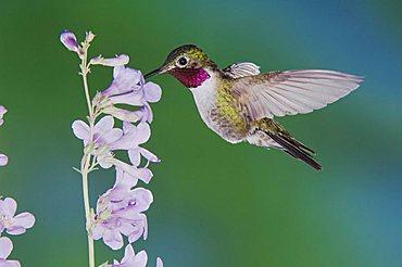 Broad-tailed Hummingbird (Selasphorus platycercus), male in flight feeding on Rocky Mountain Penstemon (Penstemon strictus), Rocky Mountain National Park, Colorado, USA