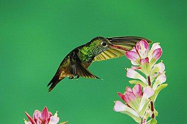 Buff-bellied Hummingbird (Amazilia yucatanensis), adult feeding on Indian Paintbrush (Castilleja coccinea), Corpus Christi, Coastal Bend, Texas, USA