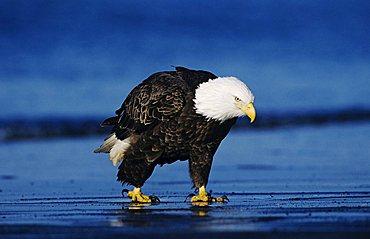 Bald Eagle (Haliaeetus leucocephalus), adult walking on beach, Homer, Alaska, USA