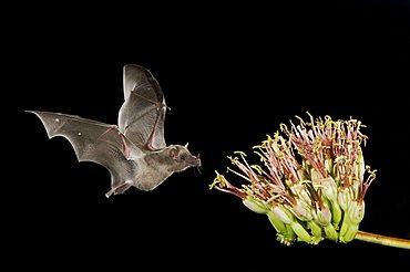 Mexican Long-tongued Bat (Choeronycteris mexicana), adult in flight at night feeding on Agave Blossom (Agave sp.), Tucson, Arizona, southwest USA