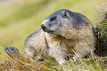 Marmot (Marmota marmota), Nationalpark Hohe Tauern National Park, Carinthia, Austria, Europe