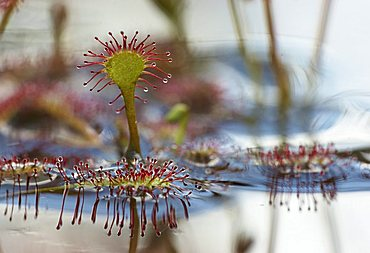 Spoonleaf Sundew (Drosera intermedia) and reflections in the water, Huvenhoopsmoor, Lower Saxony, Germany, Europe