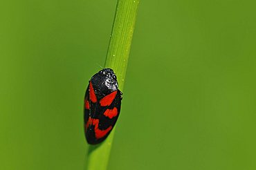 Froghopper species (Cercopis vulnerata)