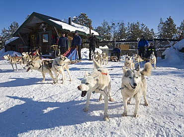 Four dog sleds with Siberian Huskies standing ready to depart in Kiruna, Lappland, North Sweden, Sweden
