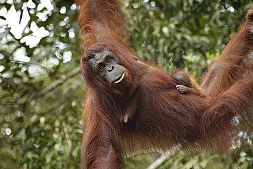 Orang Utan mother with a baby in the Semenggoh Wildlife Sanctuary near Kuching, Sarawak, Borneo, Malaysia, Southeast Asia