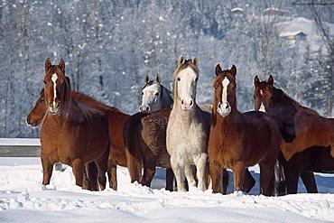 Herd of Spanish Arabian horses in deep snow, mares, North Tyrol, Austria, Europe