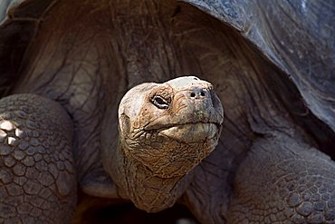 Portrait of Galapagos Giant Tortoise (Geochelone elephantopus) in the Charles Darwin Station in Puerto Ayora, Insel Santa Cruz, Galapagos Inseln, Galapagos Islands, Ecuador, South America