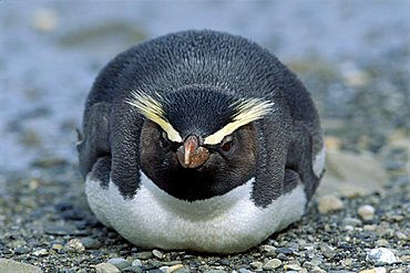 Fiordland Crested Penguin (Eudyptes pachyrhynchus), lying on the beach, South Island, New Zealand