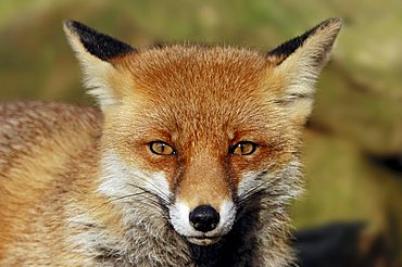 Red Fox (Vulpes vulpes), portrait, North Rhine-Westphalia, Germany, Europe
