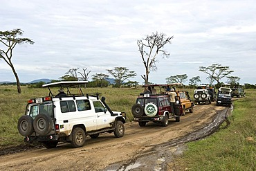 Traffic jam caused by visitors watching a leopard at the Serengeti national park, UNESCO World Heritage Site, Tanzania, Africa