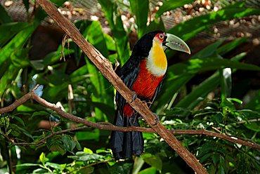 Channel-billed Toucan (Ramphastos vitellinus), Iguzu National Park, Iguazu, Brazil, South America