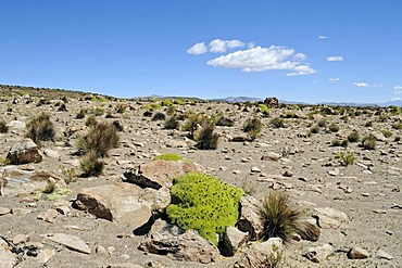 Yareta or Llareta (Azorella compacta), typical plant, vegetation, rocks, Reserva Nacional de las Vicunas, Lauca National Park, Altiplano, Norte Grande, Northern Chile, Chile, South America
