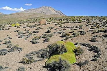 Yareta or Llareta (Azorella compacta), typical plant, vegetation, Reserva Nacional de las Vicunas, Lauca National Park, Altiplano, Norte Grande, Northern Chile, Chile, South America