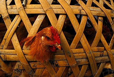 Chicken in cage made of bast, Fujian, China, Asia