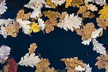 Autumnal oak leaves on a lake surface