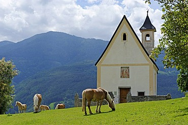 Haflinger horses and church St. Valentin at the Perutscher farm near Verdings, Keschtnweg, Kastanienweg, Eisacktal valley, South Tyrol, Italy, Europe