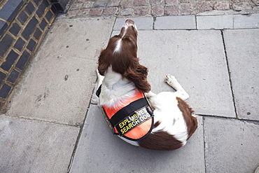 Explosive Search Dog, London, England, United Kingdom, Europe