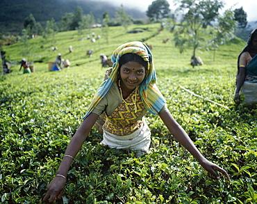 Tea Picker, Nuwara Eliya, Sri Lanka, Asia