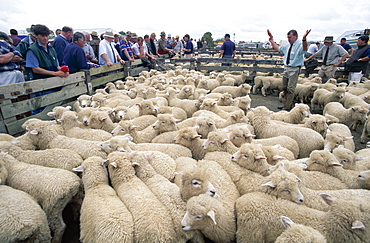 Sheep Auction, Levin, North Island, New Zealand, Pacific