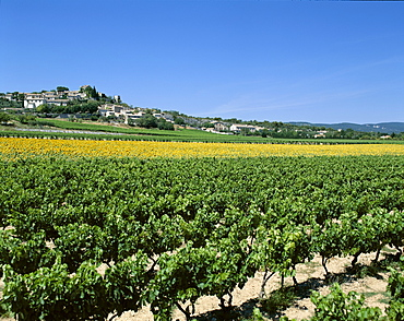 Vineyards and sunflowers, Provence, France, Europe