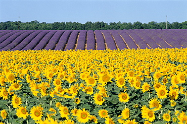 Sunflower and lavender fields, Provence, France, Europe