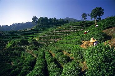 Teafields at Longjing, Hangzhou, Zhejiang Province, China, Asia
