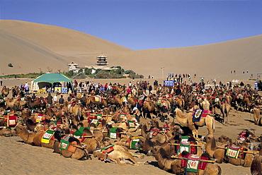 Camels at Mount Mingshan, Dunhuang, Gansu Province, China, Asia
