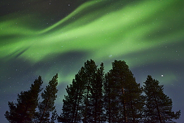 Amazing Northern Lights (Aurora borealis) display over pine trees in night skies over Kiruna, Sweden, Scandinavia, Europe