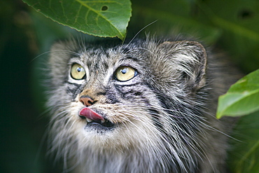 Pallas cat (Otocolobus manul) close-up, controlled conditions, Kent, England, United Kingdom, Europe