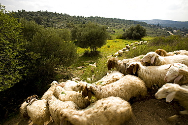 Photograph of a herd of sheeps in the Terebinth valley, Israel
