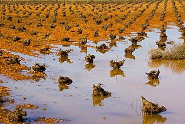 Groves of castilla la mancha in the province of toledo, Spain