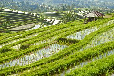 Rice fields, Bali Island, Indonesia, Southeast Asia, Asia