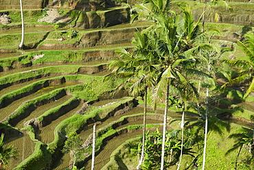 Rice terraces, Bali Island, Indonesia, Southeast Asia, Asia