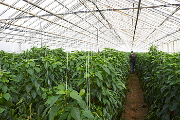 Red peppers in greenhouse, Hveragerdi, Iceland, Polar Regions