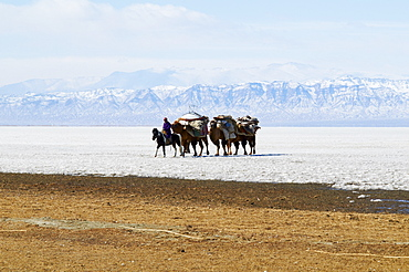 Nomadic transhumance with Bactrian camels in snow covered winter landscape, Province of Khovd, Mongolia, Central Asia, Asia